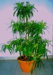 tanaman-zodia-dalam-pot